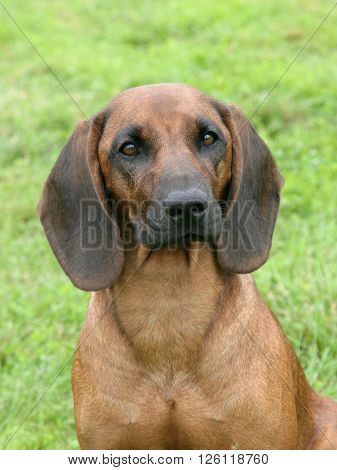 Typical Bavarian Moutain Scenthound in the spring garden ** Note: Visible grain at 100%, best at smaller sizes