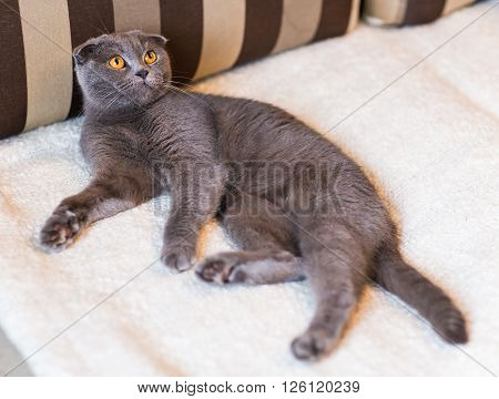 Cat relaxing on the couch in colorful blur background, cute funny cat close up, elaxing cat, cat resting, cat playing at home