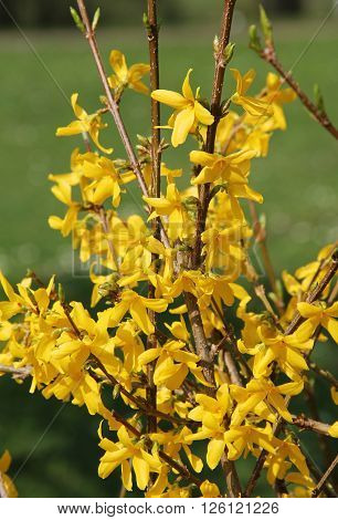 close photo of Forsythia intermedia with yellow blooms