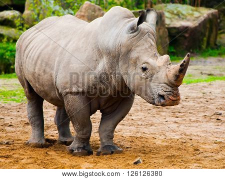 Black Rhinoceros, Diceros bicornis, in the zoo.