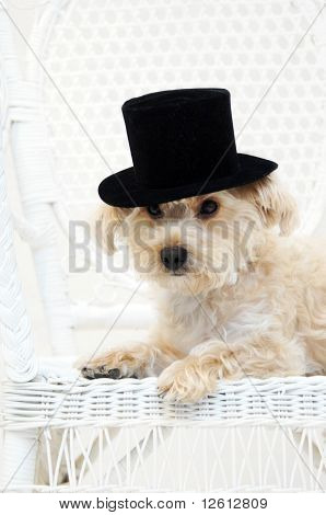 Silky poo dog wears a black top hat and sits on a white wicker chair. His small paw falls over the edge of white wooden seat. poster
