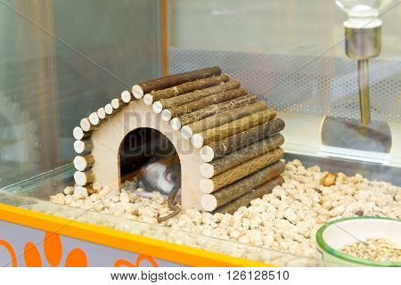 Moscow, Russia - April 16.2016. The rats in the house in Four paws pet store