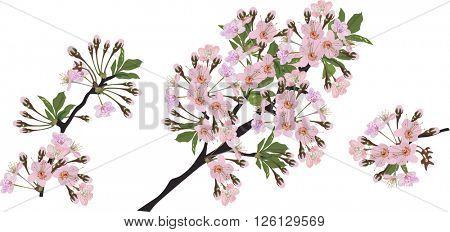illustration with spring tree blossoms isolated on white background