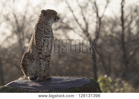 Cheetah on a rock loooking out for danger ** Note: Soft Focus at 100%, best at smaller sizes