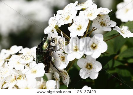 Cetonia aurata beetle with spring flowers pollination nature