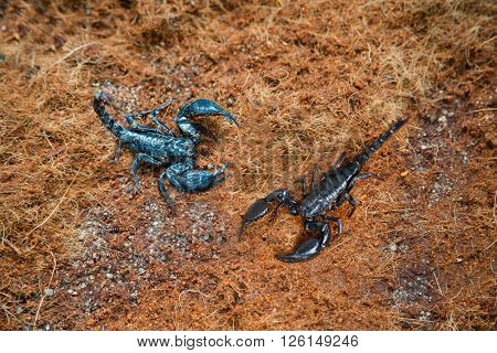 Poisonous scorpions in the land in the tropics