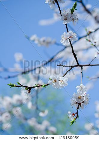 Branch with beautiful apricot flowers against the background of a blue sky in the spring as a flower spring background (shallow DOF selective focus)
