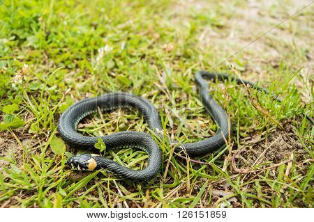 Natrix or grass snake in natural environment