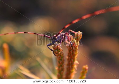 Timberman beetle. This Timberman beetle is climbing in a small pine