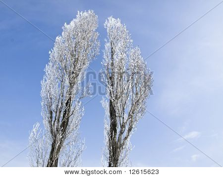 Trees And Hoarfrost