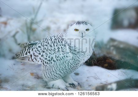 Snowy owl in the wild. Owl lurking in the woods.
