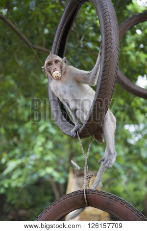 Lean rhesus macaque swings on the wheel and eating.