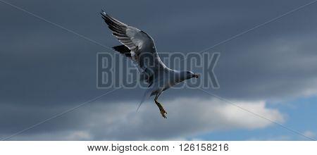 The Lesser Black-backed Gulls majestic pose. This Lesser Black-backed Gull poses for the photographer