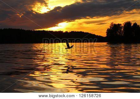 Sunset and Lesser Black-backed Gull. The Lesser Black-backed Gull flying in a beautiful sunset.