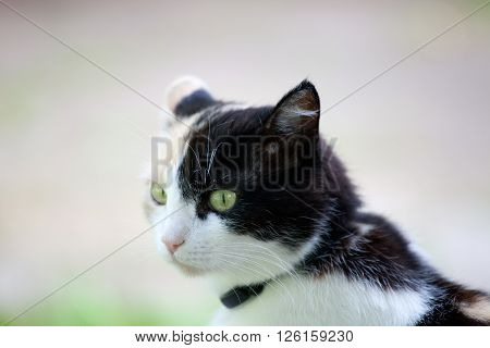 Beautiful calico cat looking to the left in awareness