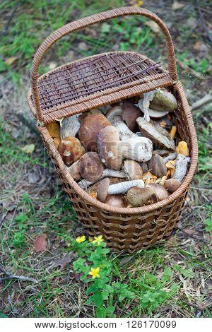 Birch Bolete Mushrooms (Leccinum scabrum) in basket ( rough-stemmed bolete scaber stalk)