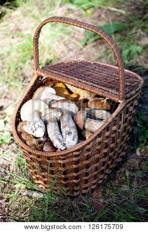 Birch Bolete Mushrooms (Leccinum scabrum) and Boletus edulis in basket ( rough-stemmed bolete scaber stalk)