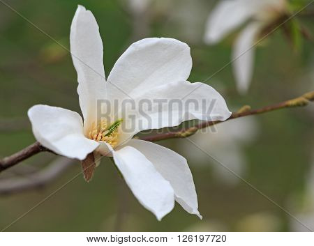 close up of white magnolia tree blossom