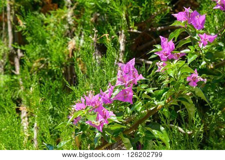 A colorful fuchsia flower of a bugainvillea