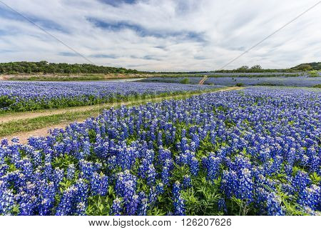 Large Texas Bluebonnet Field In Muleshoe Bend, Austin, Tx