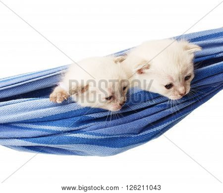 Two white kittens in a hammock. Cute white kittens in a blue hammock having rest, look down, curious, isolated at white. Adorable pets. Small heartwarming kitten. Little cats. High key
