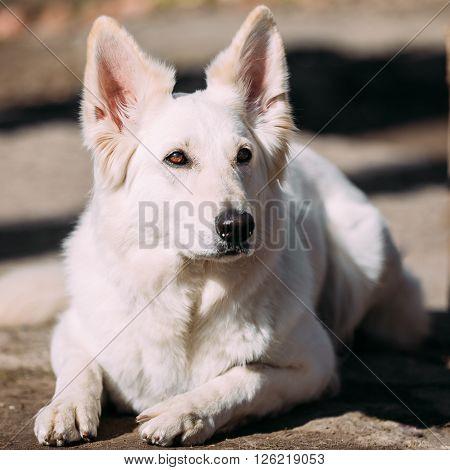 Close Up White Swiss Shepherd Dog Berger Blanc Suisse. The Berger Blanc Suisse is a breed of dog from Switzerland.