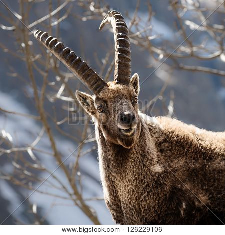Alpine horned mammal named steinbock or capra ibex in mountain poster