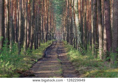 The photo shows a forest, unpaved road, leading through the tall pine forest. On the way there are deep ruts. It's a sunny day.