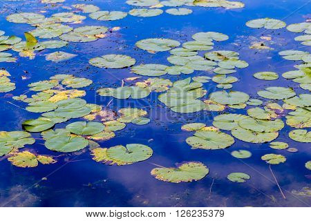 Lily pads floating on a pong in Wisconsin