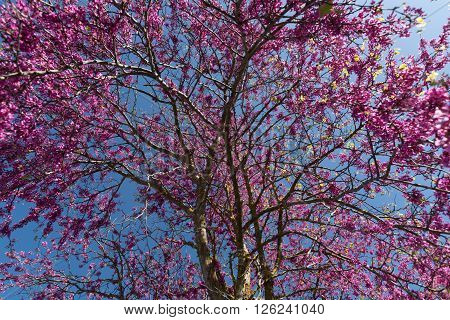 Redbud tree pink flowers in spring background