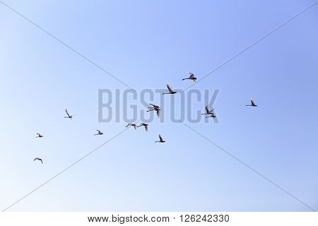 Geese flying in blue spring sky v-formation