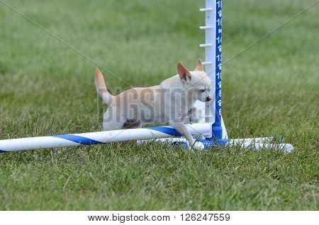 Short-Haired Chihuahua Leaping Over a Jump at a Dog Agility Trial