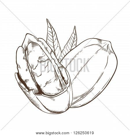 Pecan vector isolated on white background. Pecan seeds. Engraved vector illustration of leaves and nuts of Pecan. Pecan in vintage style.