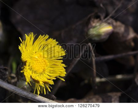 Flower in early spring blooming coltsfoot tussilago farfara with bokeh background selective focus shallow DOF