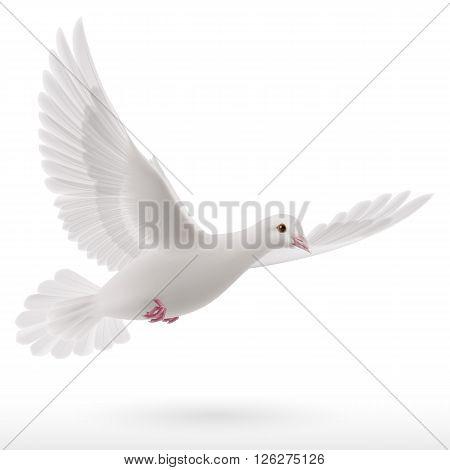 White dove flying on white background. Symbol of peace