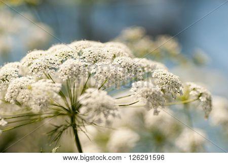 defocused image of white hemlock plant against blue background