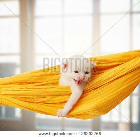 White kitten in a yellow hammock growling. Cute white kitten in a hammock having rest, in front of windows. Adorable pet. Small heartwarming kitten. Little cat. Animal isolated. High key