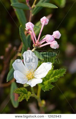 Flowering Of Cloudberries