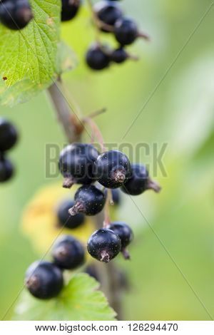 Clusters of ripe black currants on the bush