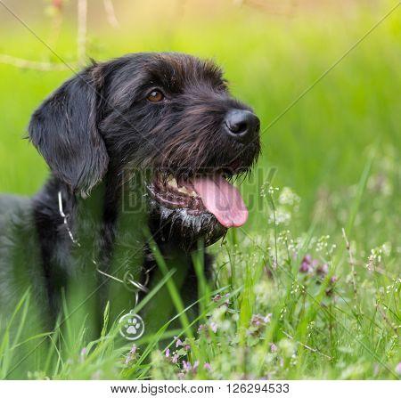Beautiful mutt black dog Amy in forest hut, close-up.