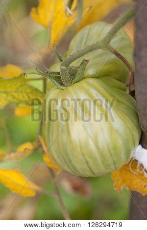 Organic heirloom tomatoes on a bush. Shallow dof