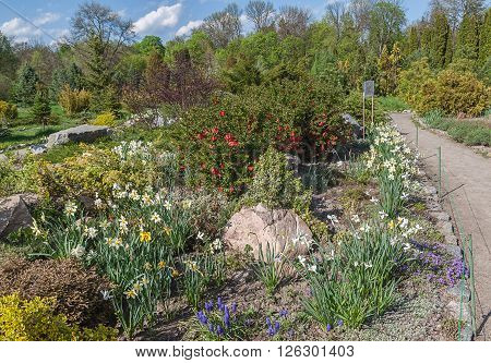 Coniferetum (conifers growing portion) with spring flowers blooming in the dendropark Alexandria Bila Tserkva Ukraine