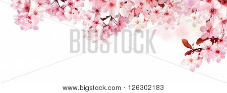 Dreamy cherry blossoms as a natural border studio isolated on pure white background panorama format