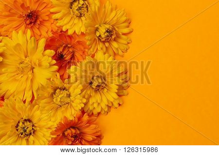 Yellow and orange medicinal calendula or marigold flowers as fresh floral background