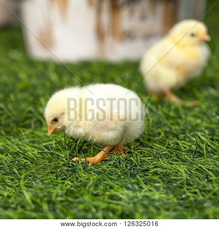 One little yellow chick walking on the lawn. The sad and resentful.
