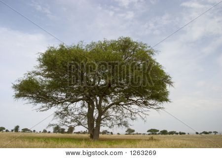 Tipycal African Tree On The Serengeti Park