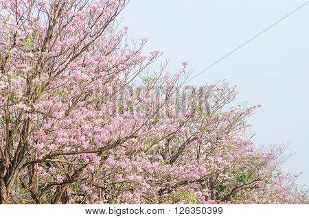 Pink trumpet tree flower blooming in summer Tabebuia rosea Pink Flower neotropical tree Rosy trumpet tree.