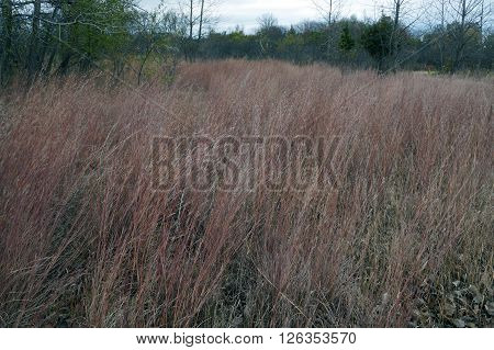 Schizachyrium scoparium, a North American native prairie grass, known as little bluestem or beard grass, in fall color Lake Renwick Heron Rookery Nature Preserve in Plainfield, Illinois. ** Note: Soft Focus at 100%, best at smaller sizes