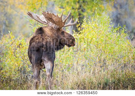 Moose with large antlers in a yellow forest