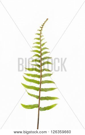 Fern isolated